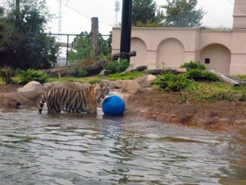 Mike the Bengal Tiger enjoys his new PENETRON ADMIX-enhanced – and completely waterproof – pond.